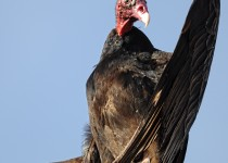 Turkey-Vulture-April-19th-2014