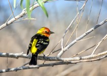 Western-Tanager-Bremer