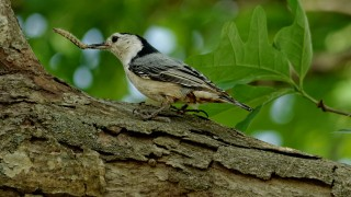 White-Breasted-Nuthatch-Grub-May-2014