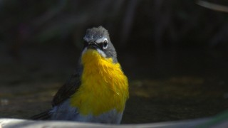 Yellow-breasted-Chat_0332-5-22-2014-8-10-13-AM