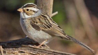 clay-colored_sparrow_erickson