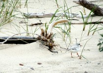 140-Birds-365-Piping-Plover_wm