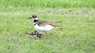 147-Birds-365-Killdeer-and-Chicks-1