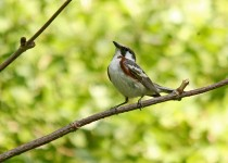 Chestnut-Sided-Warbler-Little-Spring-6-22-14-2-200PI