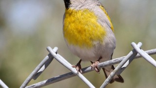 Goldfinch_Lwrnc