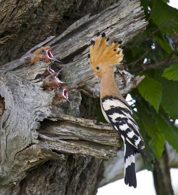 Eurasian Hoopoes ©2012 John King
