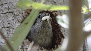 An Oak Titmouse in San Luis Obispo, California, removes a fecal sac from the nest, Wikimedia Commons.