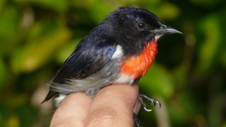 Wakatobi-Flowerpecker-Male