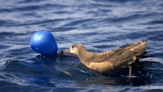 albatross and balloon