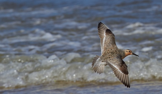 Red Knot at Raybins Beach near Fortescue, New Jersey, by Joshua Galicki.