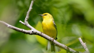 bobvt_20140621_BlueWinged_3464