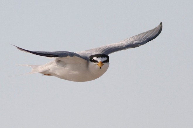 A Least Tern in flight looks toward the camera.