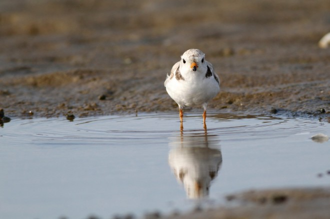 Piping Plover by Kim Caruso