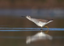 the-meal-marsh-sandpiper