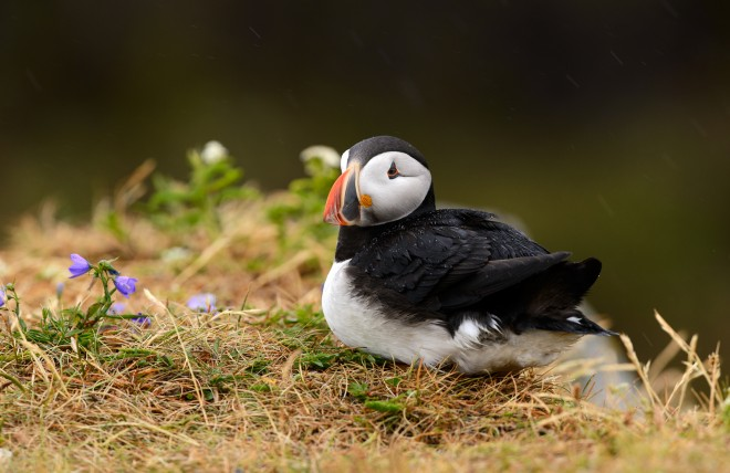 2014_AtlanticPuffin_July_11