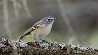 Blue-headed-Vireo
