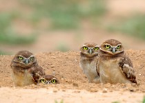 Burrowing-Owls-a