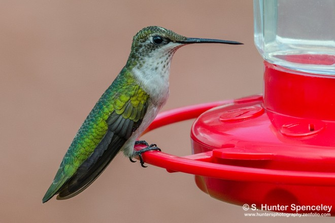 DSC0007-Ruby-throated-Hummingbird