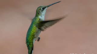 DSC0011-Ruby-throated-Hummingbird