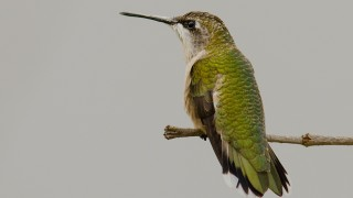 DSC0017-Ruby-throated-Hummingbird