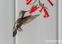 DSC0018-Ruby-throated-Hummingbird