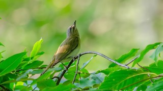 DSC0076-Red-eyed-Vireo