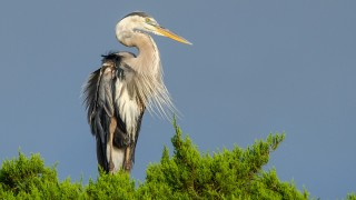 DSC0108-Great-Blue-Heron