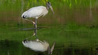 DSC0142-Wood-Stork