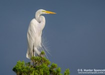 DSC0194-Great-Egret