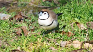 Double-barred-Finch