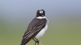 Eastern-Kingbird-5