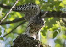 Fledgling-Sharp-shinned-Hawk