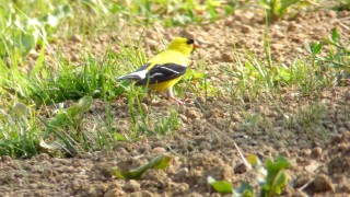 Goldfinch-237-Upload