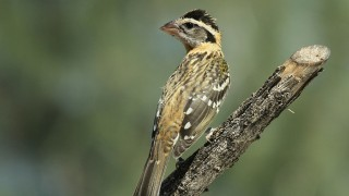 Grosbeak-Black-headed-juv-2014-07-02-044