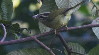 IMG_0612_Three-stripedWarbler