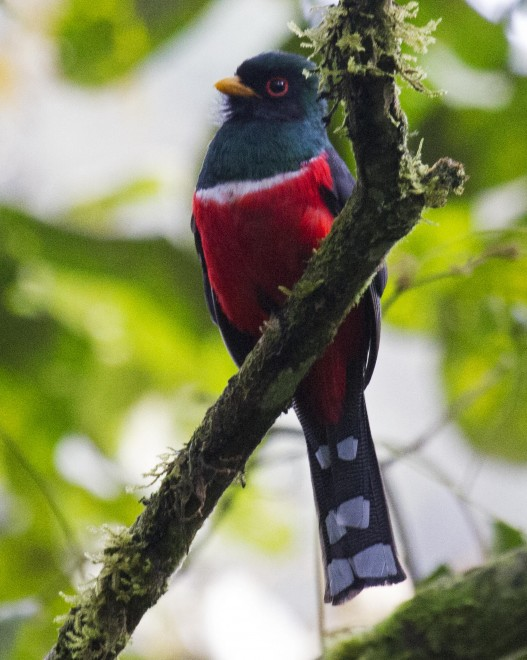 IMG_1340_MaskedTrogon_male