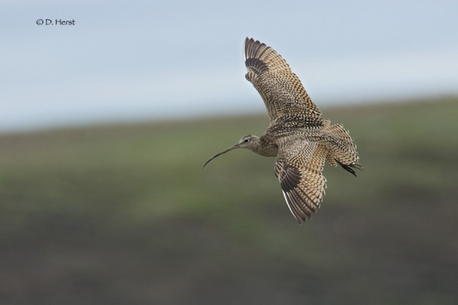 Long-billed-Curlew-1