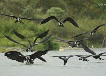 Magnificent-Frigatebirds-1