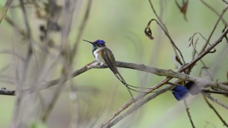 Marvelous-Spatuletail-6