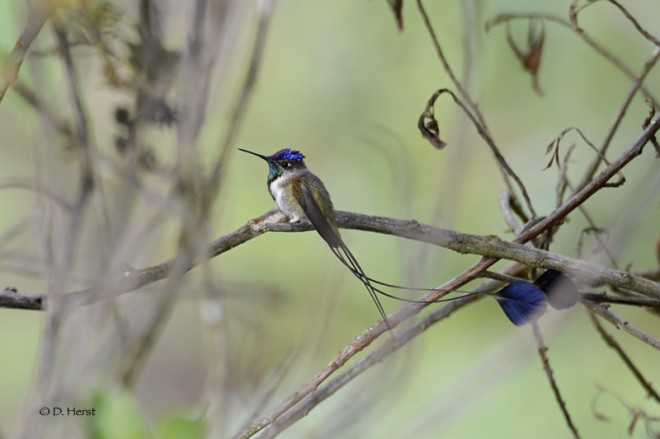 Bird-feeding stations in Peru are helping to protect habitat for the Marvelous Spatuletail hummingbird.