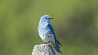 Mountain-Bluebird-02