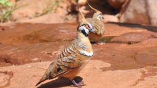 Spinifex-Pigeon-copy