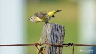 Yellow-rumped-thornbill