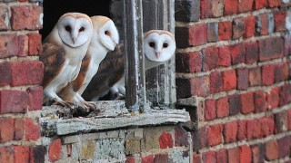 Barn Owls ©2013 Rob Haynes