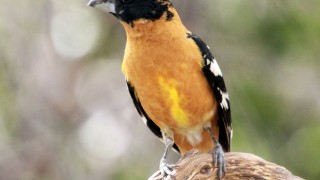 Black-headed-Grosbeak4