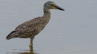 DSC0043-Yellow-crowned-Night-Heron
