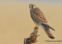 DSC_0703-Common-Kestrel-Photographed-by-Bhasmang-Mehta-India