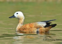 DSC_8408-Ruddy-Shelduck-Photographed-by-Bhasmang-Mehta-India