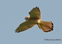 DSC_8509-Kestrel-Photographed-by-Bhasmang-Mehta-India