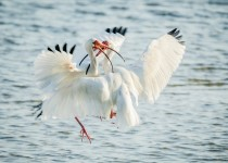 Fighting-White-Ibis-1-of-1